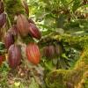 Plantas de Cacao producido en la Republica Dominicana